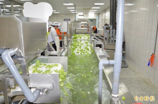 有機蔬菜雖然要求農藥零檢出,但仍驗出農藥殘餘,圖為有機蔬菜截切工廠,與新聞無關。(記者謝武雄攝)