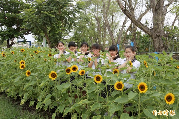 竹田國中校內1100朵向日葵近日陸續綻放。(記者邱芷柔攝)