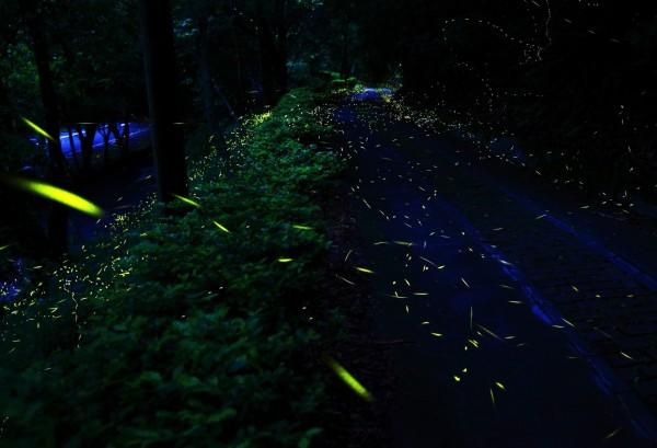 奧萬大森林遊樂區的林間每到4、5月的夜晚可見螢光點點。(南投林管處提供)