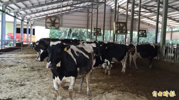 新竹縣目前有9戶酪農戶,屬於當地農業中的「少數民族」。(記者黃美珠攝)