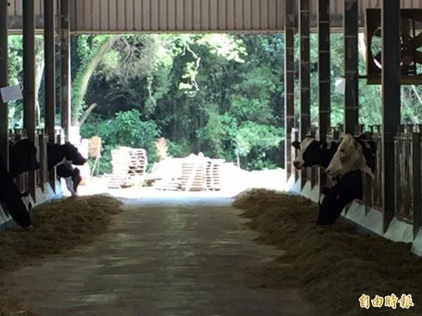 新竹縣境內酪農戶只有9戶,養牛頭數從100多頭到300多頭不等。(記者黃美珠攝)