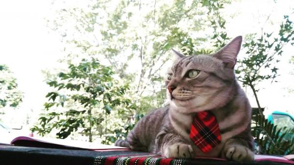 全台唯一的貓督學「比拉」就在南投縣仁愛鄉萬豐國小。學生說牠「總是用無聲無息的腳步及犀利的眼神巡堂...」。(萬豐國小提供)