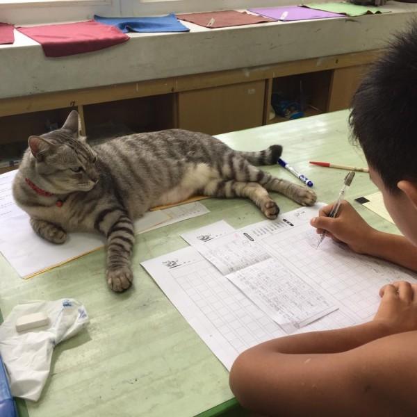 「比拉」有時也會慵懶地趴在課桌上,靜靜地「督導」學童寫作業。(萬豐國小提供)