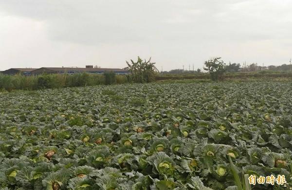 賴姓農民種植1萬顆高麗菜,卻遇到菜價崩盤。(記者陳冠備攝)
