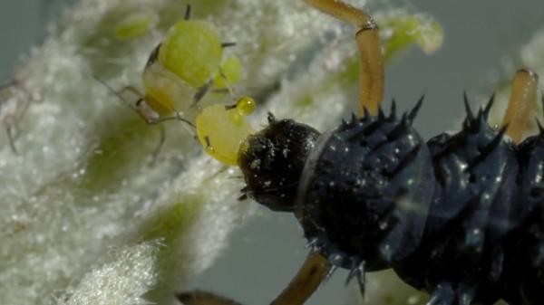 公視播出紀錄片《蟲蟲刺客任務》,聚焦生物防治演進,探索人與昆蟲和諧共存的可能。(圖由公視提供)