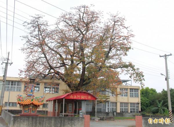 彰化縣溪州鄉有棵樹齡超過百年的木棉老樹。(記者陳冠備攝)