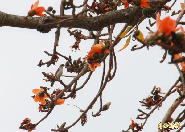 百年木棉老樹也是觀察鳥類生態的好地方。(記者陳冠備攝)