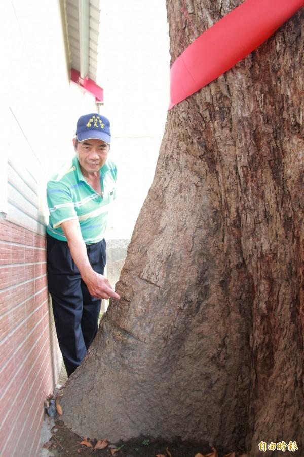 潮洋村村長孫樹生,手指樹皮被刀割的痕跡,表示早年村民拿來當治病藥引。(記者陳冠備攝)