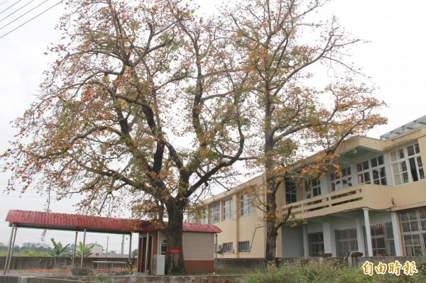 百年木棉樹身旁另有一棵子樹,也有50年樹齡。(記者陳冠備攝)