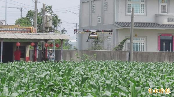 青農高宗懋推無人機空中為玉米田噴藥。(記者廖淑玲攝)