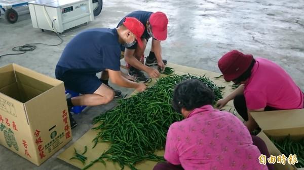 外役監農工協助整理農務(記者葉永騫攝)