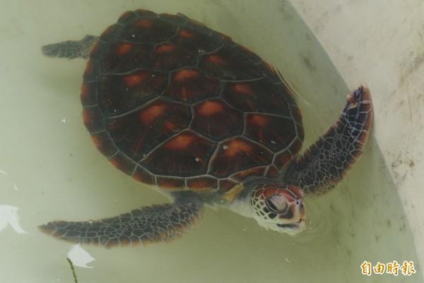 金門發現瀕絕保育類綠蠵龜,脖子背側、後肢有黃色結痂樣傷口,疑遭寄生蟲感染。(記者吳正庭攝)