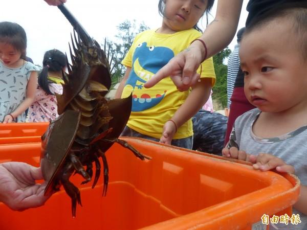 金門水試所辦理鱟放流,家長帶著小朋友和「鋼盔魚」作近距離接觸。(記者吳正庭攝)