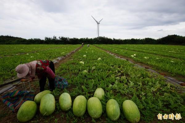 果農開始採收,民眾可到產地挑瓜、買瓜。(記者張勳騰攝)