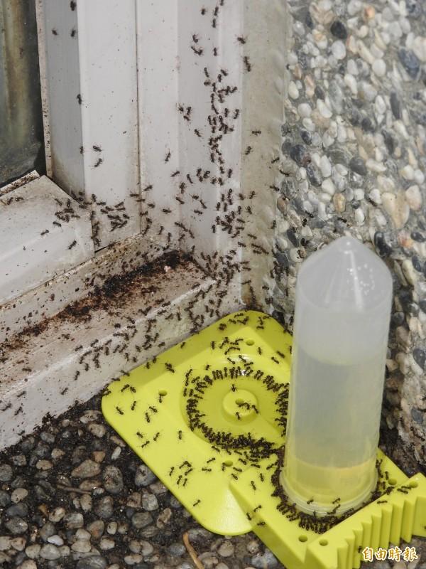 南投縣國姓鄉近年來疣胸琉璃蟻危害加劇,連鄉公所也淪陷,擺放飼劑不到20分鐘即見黑壓壓的螞蟻爬滿周遭。(記者佟振國攝)
