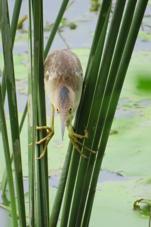 黃小鷺準備捕食。(高雄市野鳥學會提供)