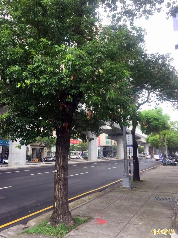 建設局進行行道樹普查,並為行道樹建立電子身分證。(記者張菁雅攝)