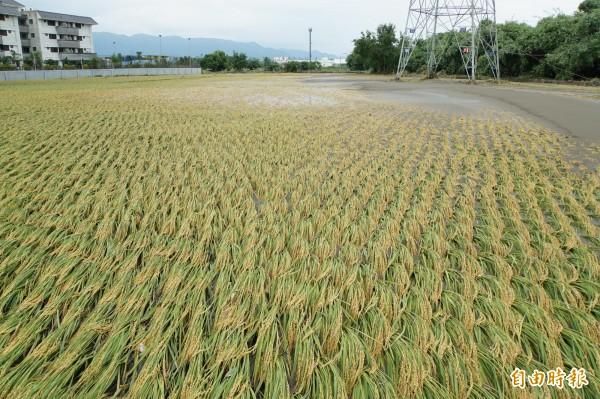 被水淹過的稻田,被爛泥埋在土中。(記者詹士弘攝)
