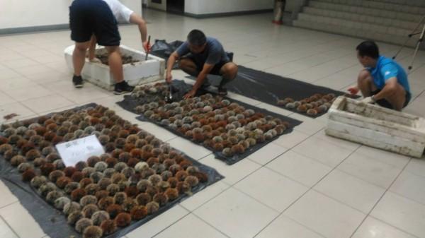 岸巡七總隊在赤崁海域,發現千餘顆海膽遭盜採。(岸巡七總隊提供)