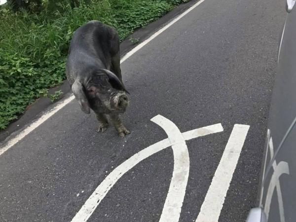 大母豬模樣可愛,但是在馬路亂竄,嚇到不少用路人。(翻攝二林人的大小事)