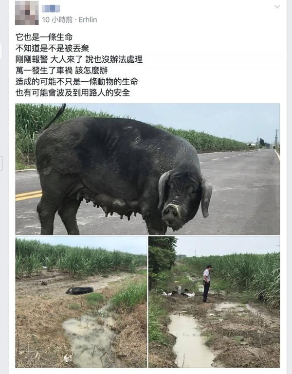彰化二林有一隻大母豬在路口亂竄,民眾貼網表示它也是生命。(翻攝臉書二林人的大小事)