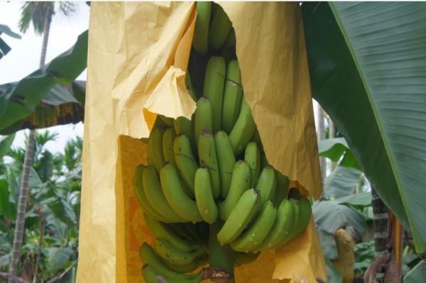 香蕉還有明顯被割的痕跡(記者葉永騫翻攝)