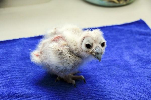 在保育員的悉心照料下,褐林鴞寶寶一天天長大。(圖由台北市立動物園提供)