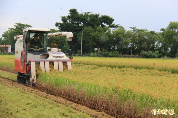 天氣一放晴,溪州農民趕緊通知割稻機業者來採收。(記者陳冠備攝)