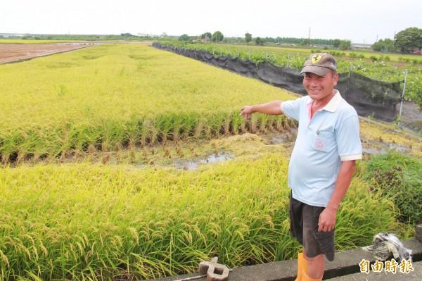 溪州顏姓農民指著泡水的稻作,若不加速採收,倒伏現象會更嚴重。(記者陳冠備攝)