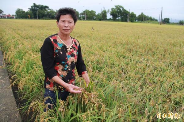 溪州陳姓農民指出,大雨不斷,造成稻穀出現穗上發芽與空包彈現象。(記者陳冠備攝)