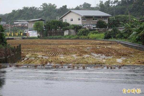 芬園鄉部分稻作在大雨來前已先收割,雨後水消退,稻梗露臉。(記者張聰秋攝)