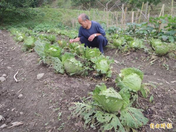 白蘭部落有越來越多居民以徒手拔草取代除草劑,不用化肥和農藥,希望打造無毒生態村,吸引年輕人回流。(記者廖雪茹攝)