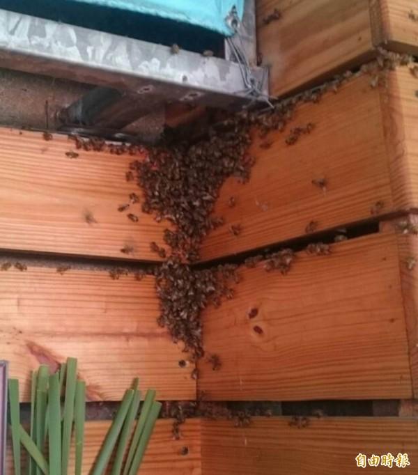 花壇鄉農會今天舉辦茉莉花產業推廣活動,茉莉花散發出的花香吸引大批蜜蜂飛舞聚集。(記者湯世名攝)