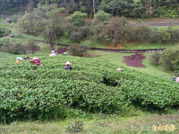 南投縣每到農忙時,採茶等農業缺工嚴重。(記者劉濱銓攝)