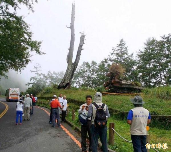 玉山國家公園塔塔加夫妻樹中的「夫樹」發生倒塌意外後,吸引許多遊客前往關心,玉管處也派員在現場維護秩序與安全。(記者謝介裕攝)