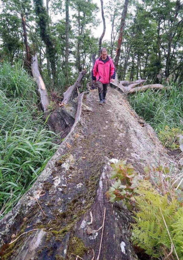 玉山國家公園塔塔加夫妻樹中的「夫樹」倒塌後,今決議將殘體展示,玉管處人員在現場巡查情形。(記者謝介裕翻攝)