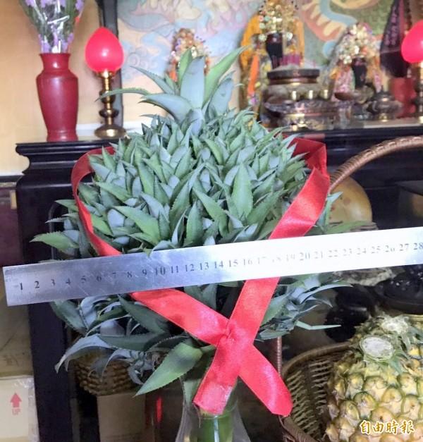 南投「微光森林」董事長陳寶麟採收下來的「繡球鳳梨花」,經丈量寬約22公分,令人嘖嘖稱奇。(記者謝介裕翻攝)(記者謝介裕攝)