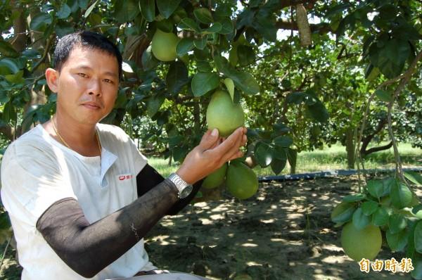 麻豆柚農李明彥說文旦採收集中在兩週,導致採收工人力缺工。(記者楊金城攝)