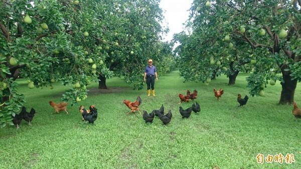 32隻雞在柚園趴趴走。(記者楊金城攝)