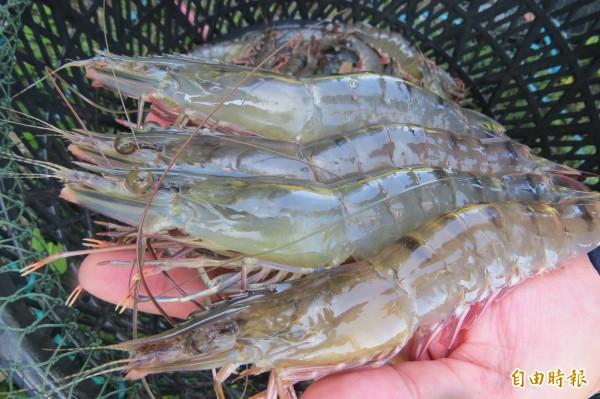 郭言良成功養出11尾斤的大草蝦。(記者蔡文居攝)