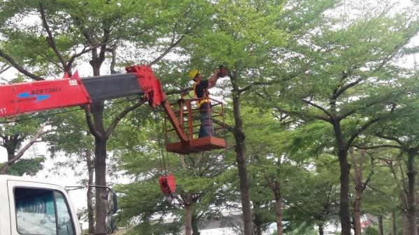 降低颱風的危害,建設局持續進行防災式行道樹修剪作業。(圖台中市政府提供)