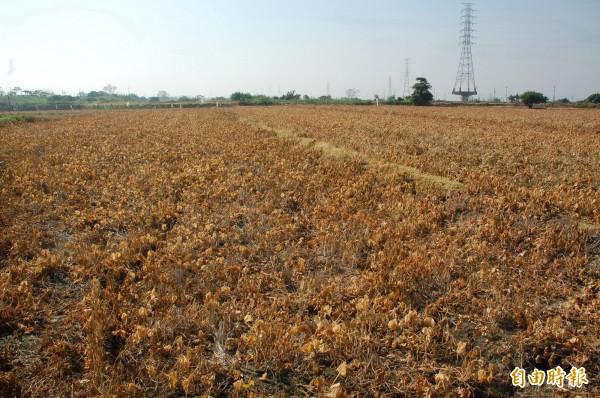 受進口紅豆數量大增影響,萬丹農會至今出貨僅50餘頓,今天於是宣布,明年紅豆契作面積將縮減至30公頃。(記者李立法攝)
