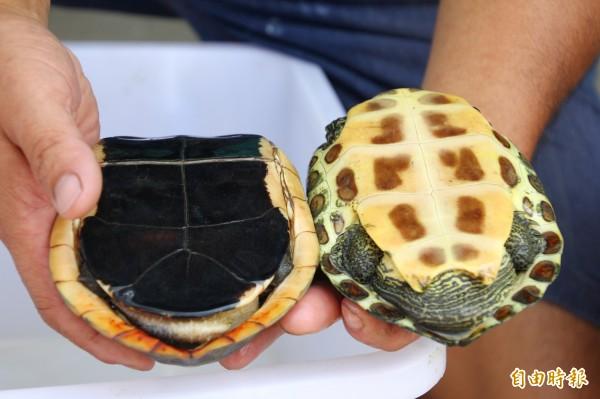 左側的食蛇龜龜甲和一般烏龜不同。(記者林宜樟攝)
