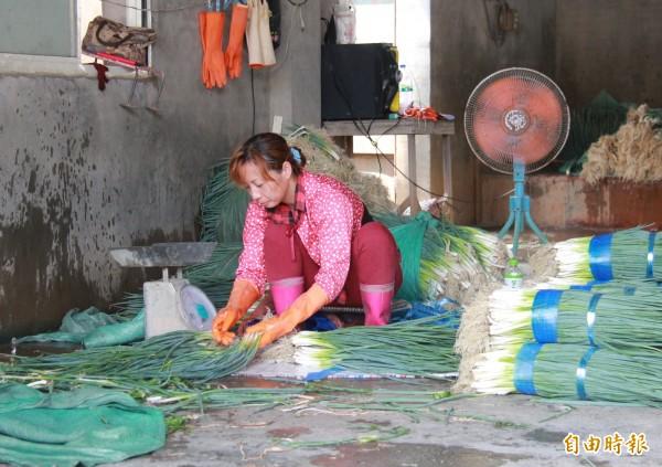溪州蔥農趁颱風來襲前,趕緊搶收,忙著清洗、綑綁出貨。(記者陳冠備攝)