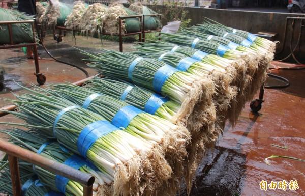 青蔥價高,溪州蔥農趕緊在颱風來臨前出貨,以免心血泡湯。(記者陳冠備攝)
