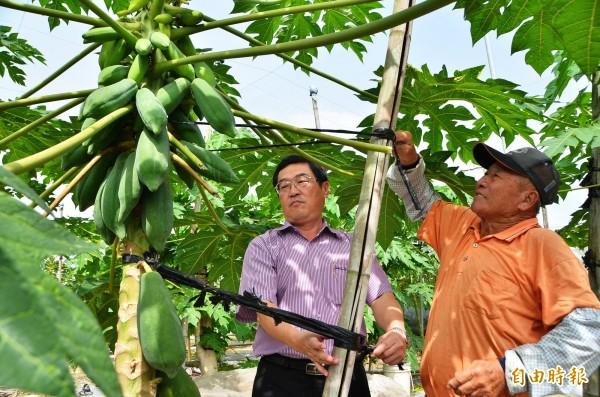 農民在木瓜樹旁加裝支撐架,協助固定,山上區長余基吉(左)也幫忙繫綁。(記者吳俊鋒攝)