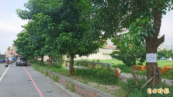 屏東夜市停車場的水黃皮樹長的很茂密(記者葉永騫攝)