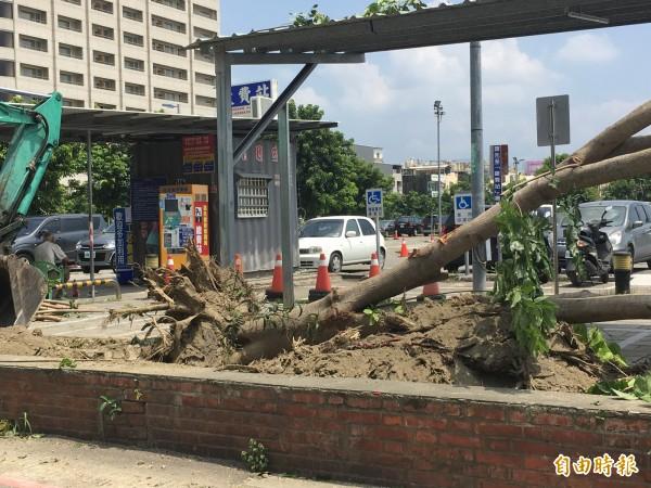 水黃皮樹被怪手推倒,樹枝被砍光,讓民眾感到不捨(記者葉永騫攝)