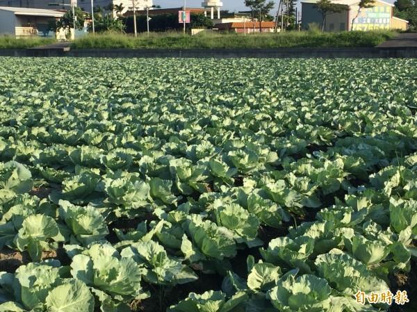 彰化縣伸港鄉高麗菜田目前進入定植期,泰利颱風要來,菜農心驚驚。(記者張聰秋攝)