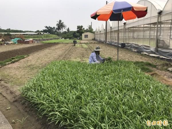 泰利颱風即將來襲,民眾搶收蔬菜。(記者陳文嬋攝)